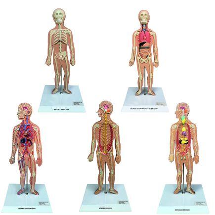 conjunto-de-pranchas-para-iniciacao-ao-estudo-anatomico-dos-principais-sistemas-do-corpo-humano.centermedical.com.br
