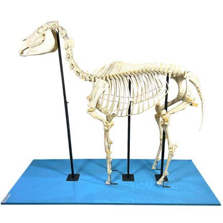 esqueleto-de-cavalo-em-tamanho-natural.centermedical.com.br